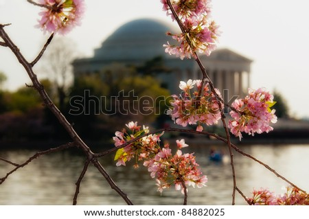 Cherry tree blossoms around the tidal basin with the Jefferson Memorial blurred in the background