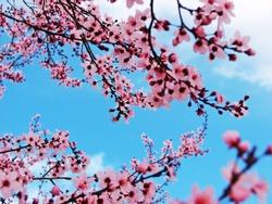 Cherry tree branch blooming against vivid blue sky