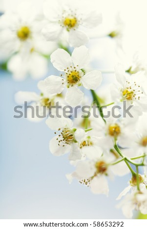 cherry tree branches. stock photo : Cherry tree