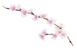 Cherry tree branch with blooming flowers isolated on white background