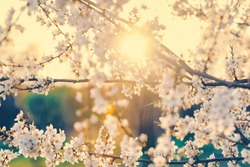 Cherry tree branches with blooming white flowers. Sunset. Springtime.
