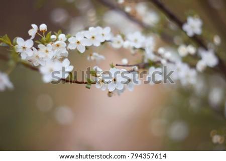 Cherry tree (Cerasus) blossom at spring.