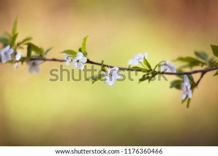 Cherry tree (Cerasus) flowers / cherry tree blossom at spring.