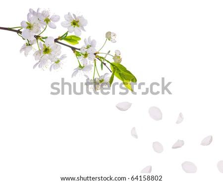 cherry-tree flowers isolated on white background - stock photo