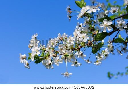Cherry tree flowers on blue sky