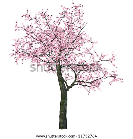 Cherry Tree with pink blossoms