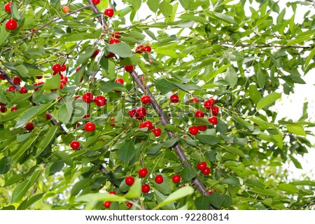 Cherry tree with ripe cherries in the garden.