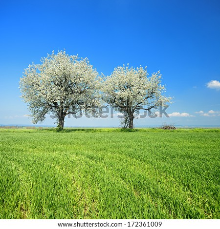 Cherry Trees Blooming on Green Field in Spring Landscape