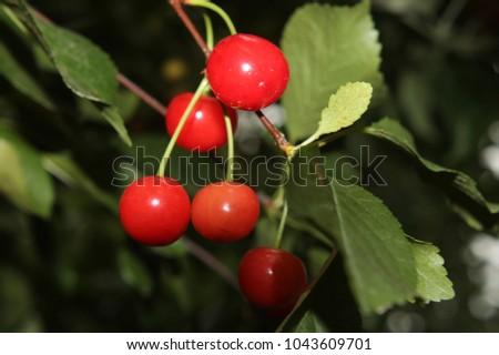 Shutterstock Cherry, Trees, Fruit