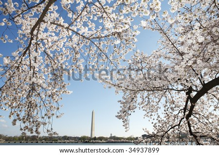 Cherry trees in full bloom along the Tidal Basin in Washington, DC with the Washington Monument in the background.
