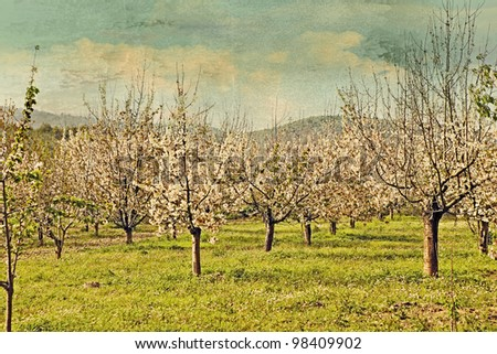 cherry trees in spring blossom on a farm garden with retro effect and grunge texture overlay. - stock photo