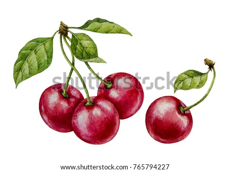 Cherry. Watercolor botanical illustration