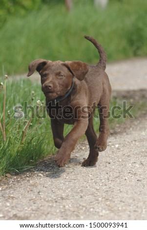Chesepeak Bay Retriever puppy, closeup #1500093941
