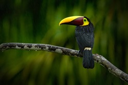 Chesnut-mandibled Toucan sitting on the branch in tropical rain with green jungle in background. Wildlife scene from nature with beautiful bird with big bill.