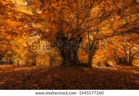 Chestnut (Castanea sativa) in the magic forest Foto stock ©