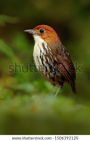 Chestnut-crowned antpitta, Grallaria ruficapilla, rare bird from dark forest in Rio Blanco, Colombia. Wildlife scene from nature. Birdwatching in tropical jungle.