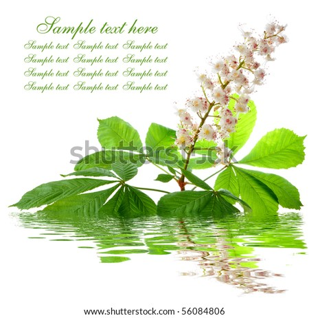 chestnut flower - stock photo