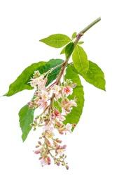 Chestnut flower blossom isolated on white
