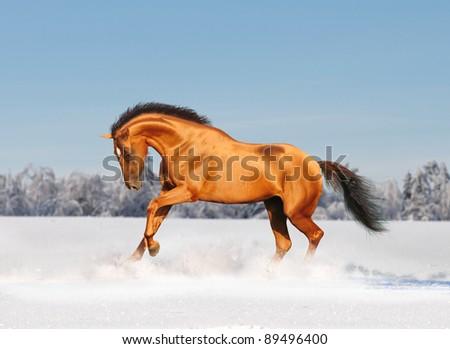 chestnut golden horse in winter field