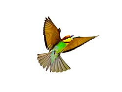 Chestnut-headed Bee-eaters in flight isolated on white background