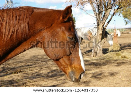 Chestnut horse dozing, eyes closed
