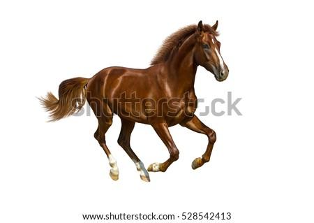 Chestnut horse gallops on white background.