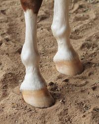 Chestnut horse legs close up