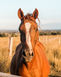 Chestnut horse looking over the fence