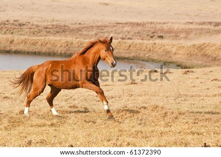 Chestnut horse running near a farm dam