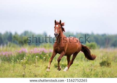 chestnut horse runs gallop on a spring, summer field