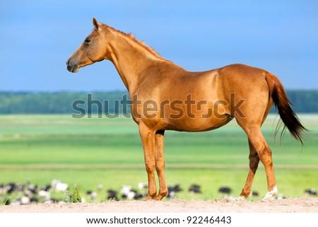 Chestnut horse standing in field