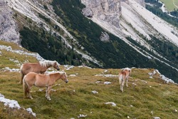 chestnut horses above valley in Dolomites, Italy