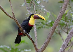 Chestnut-mandibled Toucan or Swainson's Toucan perched on a mossy branch in the tropical rainforests, Boca Tapada, Laguna de Lagarto Lodge, Costa Rica