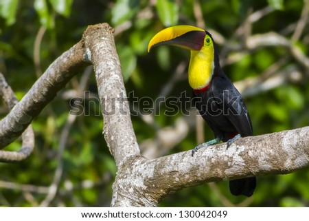 Chestnut-mandibled Toucan (Ramphastos ambiguus swainsonii) sitting on a branch. Lives in groups in lowland rainforest of Central America. Eats fruit but also eggs,lizards, insects and frogs.Costa Rica