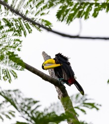 Chestnut-mandibled toucan species Swainson's toucan resting on a tree and cleans his plumage in its habitat, Costa Rica.