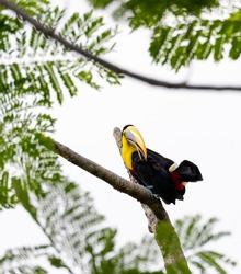 Chestnut-mandibled toucan species Swainson's toucan resting on a tree in its natural tropical habitat, Costa Rica.