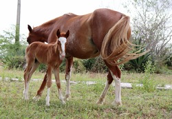 Chestnut Mare and foal. Young foal with his mother.