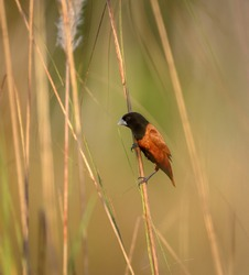 Chestnut munia bird in the bush.The chestnut munia is a small gregarious bird which feeds mainly on grain and other seeds. It frequents open grassland and cultivation.