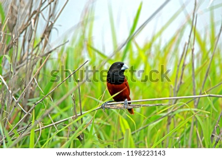 Chestnut Munia on branch in nature #1198223143