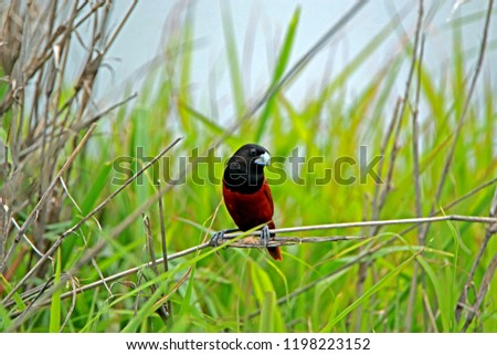 Chestnut Munia on branch in nature #1198223152