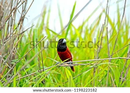 Chestnut Munia on branch in nature #1198223182