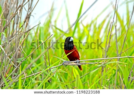 Chestnut Munia on branch in nature #1198223188