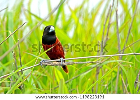 Chestnut Munia on branch in nature #1198223191