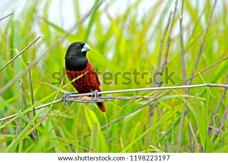 Chestnut Munia on branch in nature #1198223197