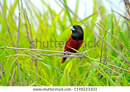 Chestnut Munia on branch in nature #1198223203