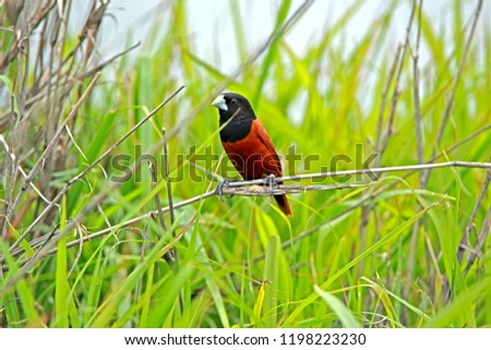 Chestnut Munia on branch in nature #1198223230