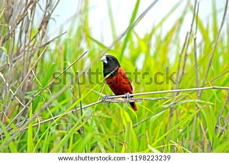 Chestnut Munia on branch in nature #1198223239