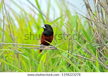 Chestnut Munia on branch in nature #1198223278