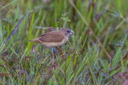 chestnut munia or black-headed munia Lonchura atricapilla immature eating grass seeds