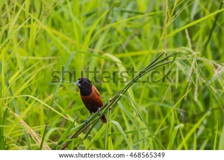 Chestnut Munia perching on a branch, Black headed Munia on a branch. (Lonchura malacca) #468565349